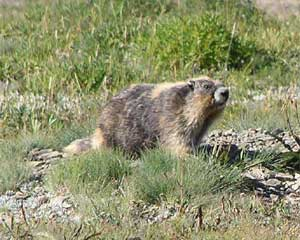 Older Golden Marmot