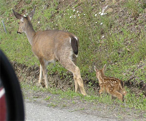 Fawn and Doe by the Road