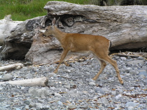 Fawn at Cape Alava