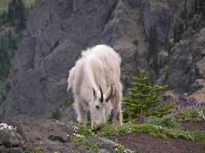 Mountain Goat Grazing At Klahane Ridge