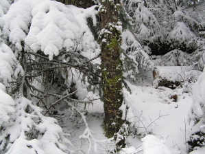 Lake Angeles Trail Mossy Tree in Snow