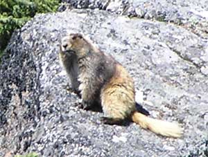 Klahane Ridge Golden Marmot