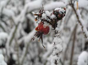 Rose Hip in the Snow