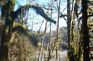 More Hoh Rain Forest
