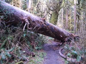 Tree Blocking the Trail