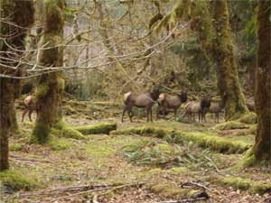 Elk Herd at Five Mile Island