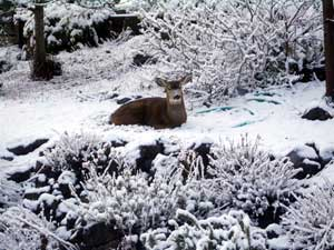 Deer enjoying the snow in our yard