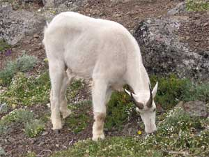 Mountain Goat Grazing
