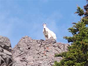 An Olympic mountain goat exploring the crags above us